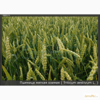 Пшеница озимая Скипетр