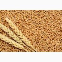 Семена твердой пшеницы трансгенный сорт двуручки amadeo
