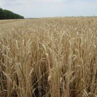 Семена озимой пшеницы «Доэко» ОТ ПРОИЗВОДИТЕЛЯ