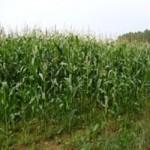 Кукуруза 3, 4 класса