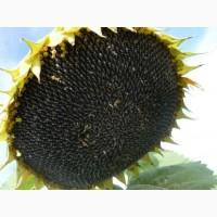 Семена подсолнечника, канадский трансгенный гибрид масличного подсолнечника jaeger f 369