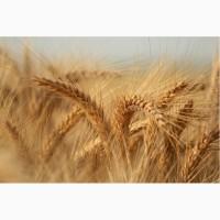 ООО НПП «Зарайские семена» продает оптом семена:пшеница яровая твердая