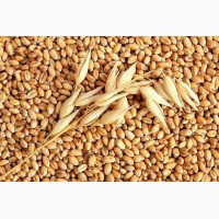 Закупаем пшеницу, горох, ячмень. Ищем поставщика на Урале