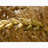 Семена твердой пшеницы трансгенный сорт двуручки denton
