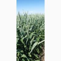 Семена озимой пшеницы «Юка» ЭЛИТА ОТ ПРОИЗВОДИТЕЛЯ