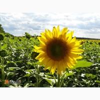 Гибриды семена подсолнечника ЛГ 5550, ЛГ 5580, ЛГ 5485 (Лимагрейн, Limagrain)