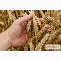 Семена Озимой пшеницы урожая 2018г. Сорт Таня