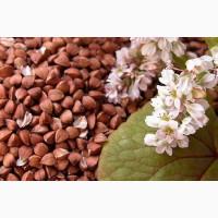 Семена гречихи, семена сорта гречихи florida