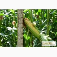 Кукуруза семена