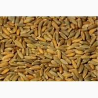 Продаем пшеницу, овес, озимую рожь