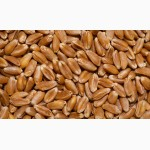 Продаем фуражную пшеницу мелким оптом