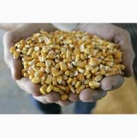 Закупаем кукурузу на экспорт