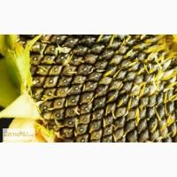 Гибриды семян кукурузы Pioneer Du Pont