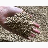 Семена озимой пшеницы Капитан