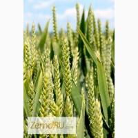 Семена Озимой пшеницы урожая 2018г. сорт Гром