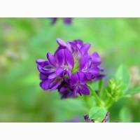 Семена люцерны Манычская, Багира
