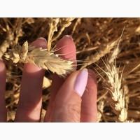 Семена озимой пшеницы сорт Дуплет ЭС/РС1/РС2