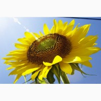 Семена гибриды подсолнечника НС Х 6006 (Нови Сад) - Express Sun