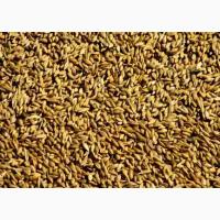 Пшеница 3-го класса оптовые поставки