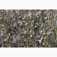Лён масличный семена сорт Август I-й (первой) репродукции