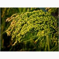 Семена проса посевного Саратовское жёлтое (ЭС, РС1)