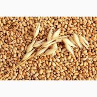 Закупаем зерно ячмень