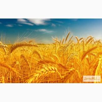 Закупаем пшеницу, ячмень, горох