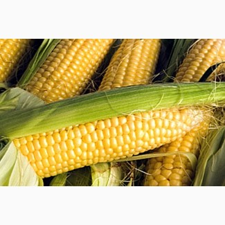 Гибриды семена кукурузы МОНСАНТО ДКС 3511, ДКС 4014