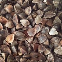Реализуем семена гречихи Девятка (ЭС)