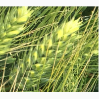 Продаю семена озимой твердой пшеницы сорт Агат Донской ЭС