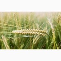 Семена Ячменя Ярового к посевной 2020