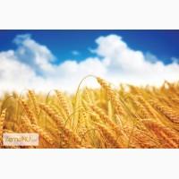 Купим пшеницу 3 класс с хозяйств и элеваторов