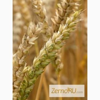 Семена Озимой пшеницы урожая 2018г. Юка