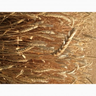 Семена озимой пшеницы Этюд ЭС/РС1