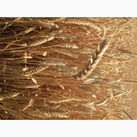 Семена озимой пшеницы Этюд ЭС/РС1/РС2
