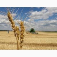 Семена озимой пшеницы Алексеич, Ахмат, Гурт, Еланчик, Таня, Юка и др