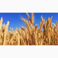 Продаём пшеницу и др