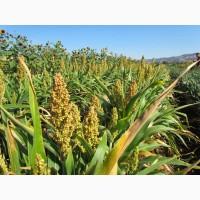 Семена сорго зернового