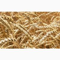 Семена озимой пшеницы сорт Юка ЭС/РС1/РС2