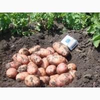 Реализуем молодой картофель сорта Ред Скарлет