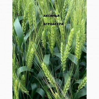 Продаю семена озимой пшеницы сорт Аксинья ЭС