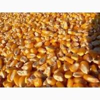 Закупаем кукурузу в больших объемах