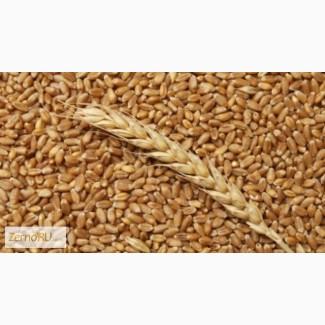 Пшеница Закупаем ЮФО, ПФО