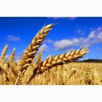 Пшеница 2017 года
