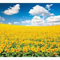 Гибриды семена подсолнечника СИ Купава, СИ Ласкала, СИ Кадикс (Сингента, Syngenta)