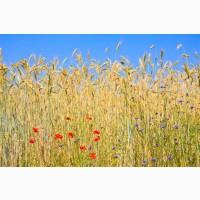 Продаем пшеницу 5 класса