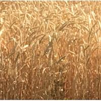 Семена озимой мягкой пшеницы сорт Капризуля ЭС