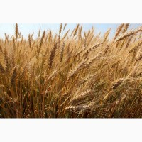 Семена пшеницы от производителя