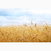 Продам пшеницу 5 класс с элеватора по переписи