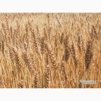 Продаю Пшеницу 5 класса